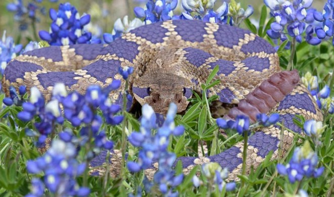 Be Aware of the Bluebonnet Rattlesnake