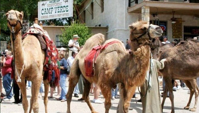 The Camels Of Camp Verde