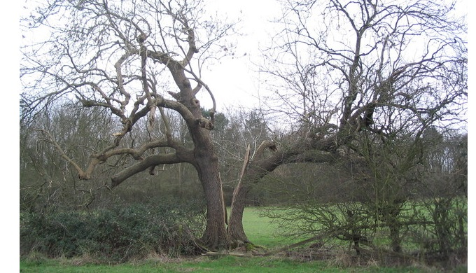 Though damage to the Wedding Oak is not this bad, a split trunk can mean tree death.