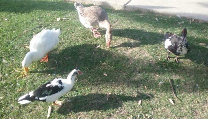 Three ducks and a goose in Boerne