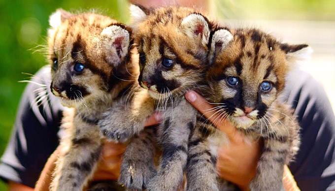 Three Mountain Lion Babies Make Their Debut at Animal World & Snake Farm Zoo