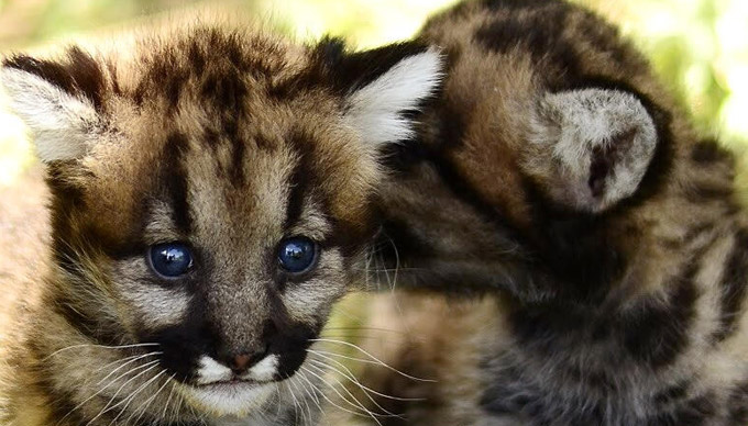 Three Mountain Lion Babies Make Their Debut at Animal World & Snake Farm Zoo