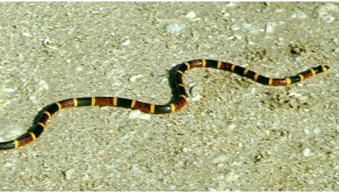 Venomous snakes in the Hill Country include the coral snake