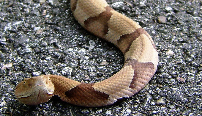 Venomous snakes in the Hill Country include the southern copperhead