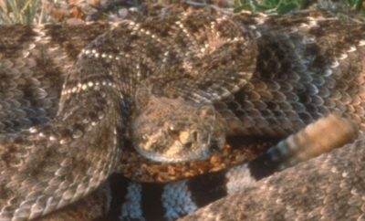Venomous snakes in the Hill Country include the western diamondback rattlesnake