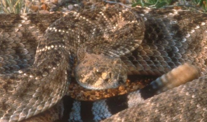 Venomous Snakes of the Texas Hill Country