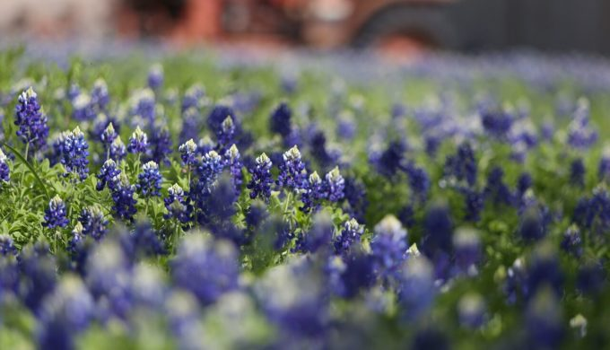 Where to find bluebonnets 2