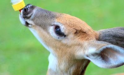 Fawns Getting Fed is a Dose of Happiness on the Internet, and We're Hitting Replay