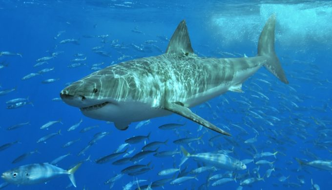 Reports Identify Massive Sharks (That's Plural) Recently Caught of the Texas Gulf Coast