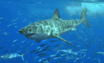 Monster Great White Shark Being Tracked in the Gulf of Mexico