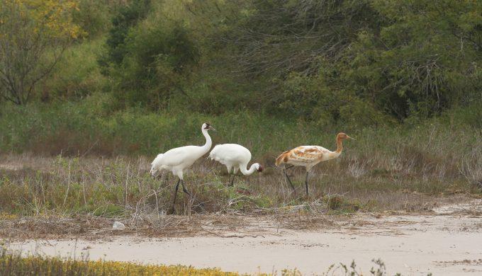 Whooping Cranes head to Aransas National Wildlife Refuge