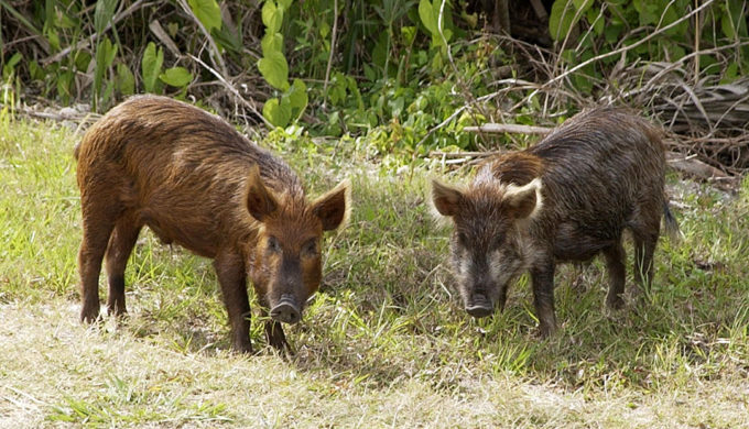 Desperate Hill Country Landowners Turn to Feral Hog Hunters for Relief