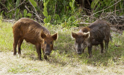 Wild Hogs Abilene