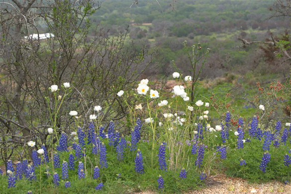 bluebonnets and poppies on willow city loop