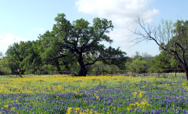 Texas hill country is filled with bluebonnets and yellow dycs photo courtesy dale lewis mightylinksfo