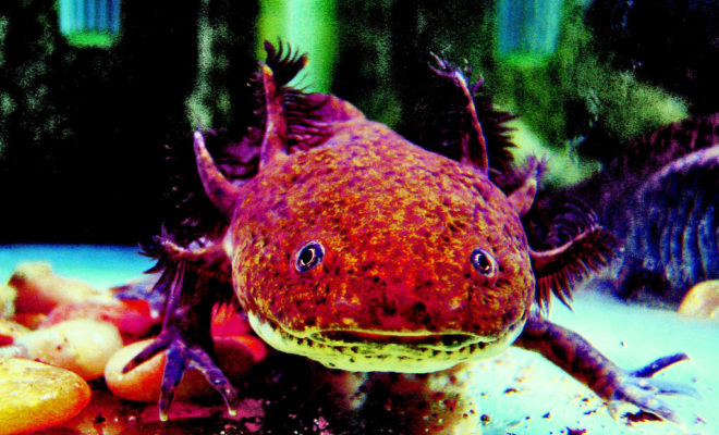 Axolotls: What Makes Them Unique & Why They're Being Studied