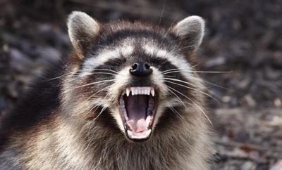 rabid raccoon rabies bandera