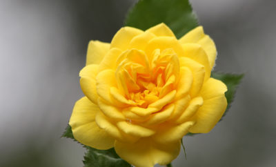 Yellow Rose of TX