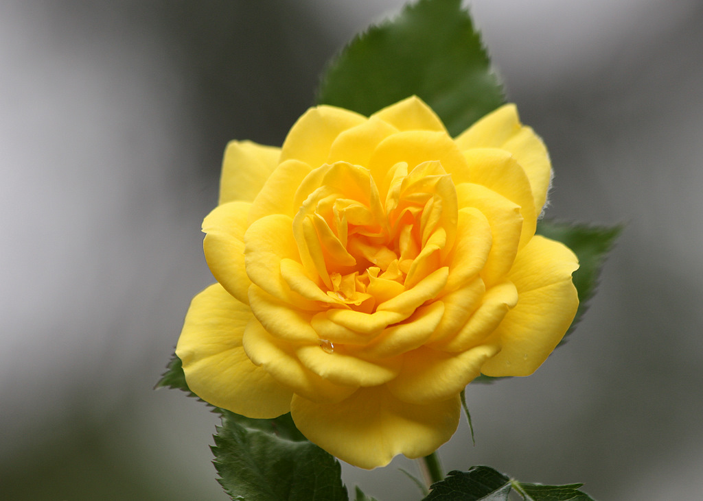Yellow Rose Texas City Tx