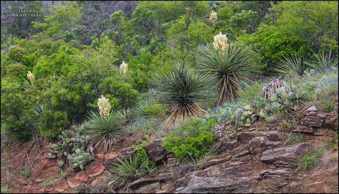 Yucca Cactus