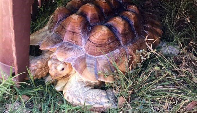 Zuri - An owner surrender at Eden Animal Sanctuary