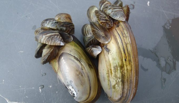 Zebra mussels on mussel
