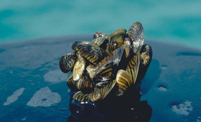 Zebra Mussels Have Invaded Lake LBJ and Lake Pflugerville