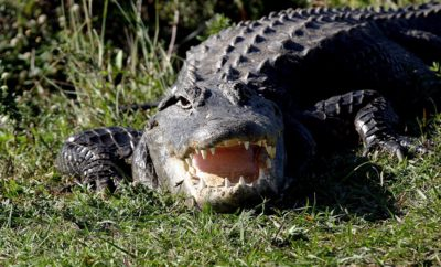 East Texas Rancher Assists in Wrangling 10-Foot Alligator Threatening Cattle