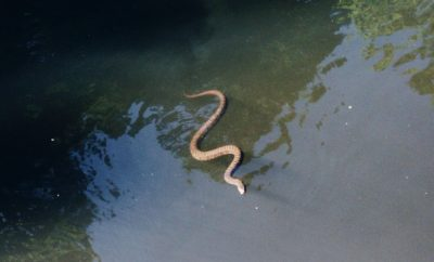 Diamondback Snake Seen in the Water Near the River Walk