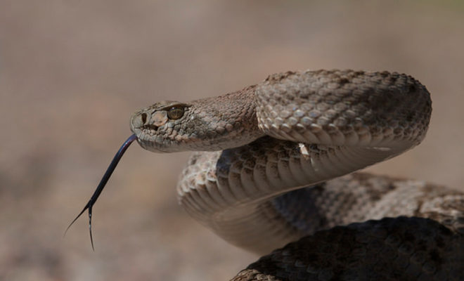 5-Year-Old Texas Girl Bit By Rattlesnake Receives 30 Doses
