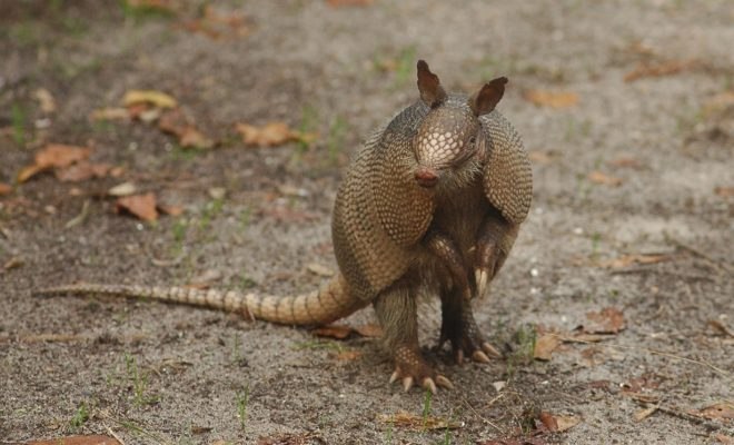 Can the Texas Nine-Banded Armadillo Really Cause Leprosy?