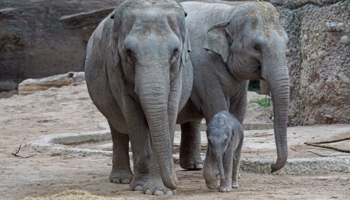 It's a Girl! Joy the Asian Elephant is the Newest Baby at the Houston Zoo