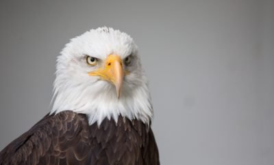 Bald Eagle Comeback in Texas is Noteworthy: What of its Future?