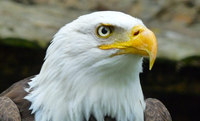 Central Texas Man Indicted in Deaths of Bald Eagles