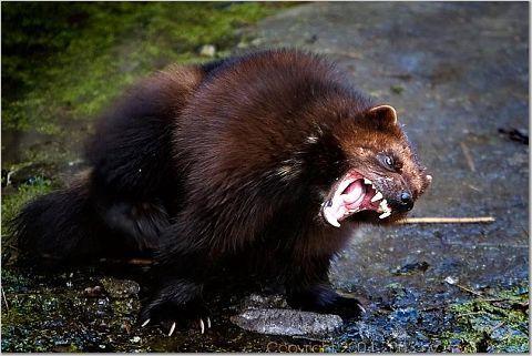 The Ferocious Bear King