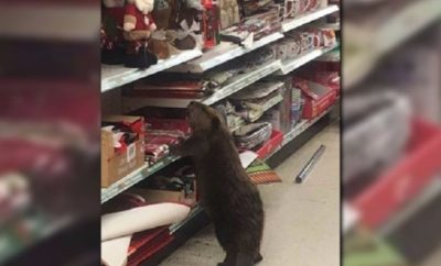 Beaver Caught Christmas Shopping: Who Gives a Dam?