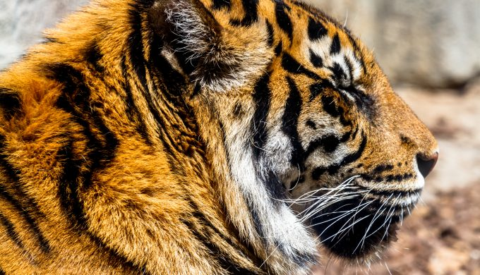 Federal Agents Find Tiger, Other Exotic Animals in a 'Pseudo-Narco Zoo'