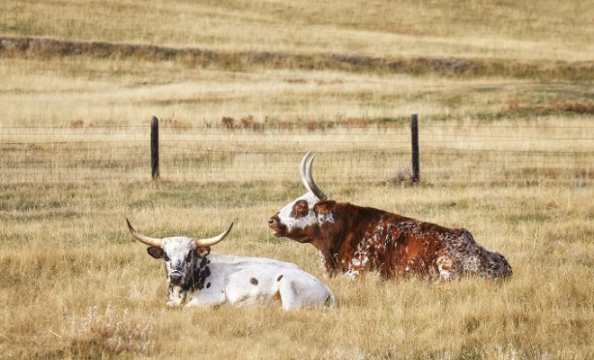 Reward Offered in Live Oak County Cattle Theft: Help Catch the Rustlers