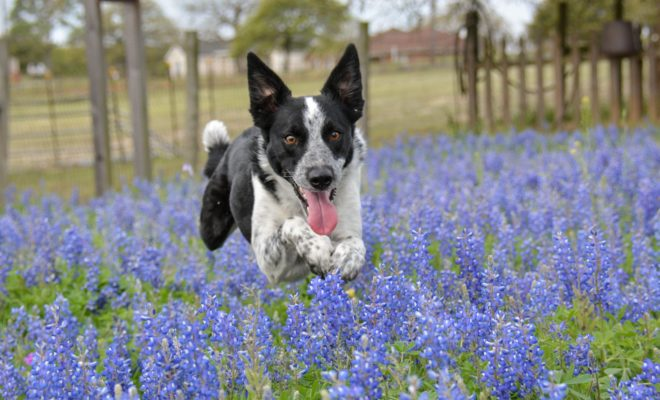 Texas Goes Technicolor With Mind-blowing Bluebonnet Season