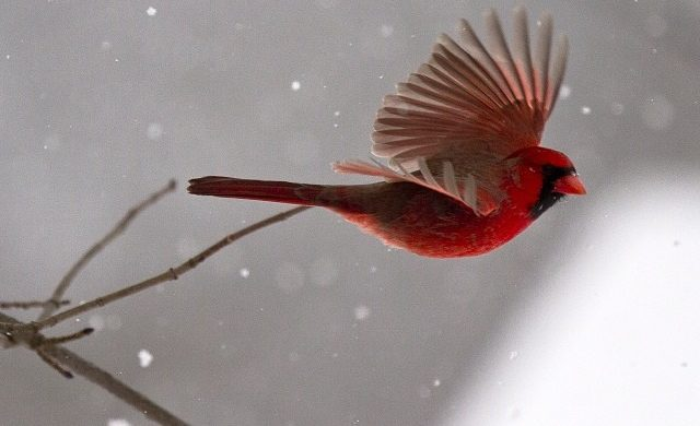Red Birds Ride the Cresting Wind: Watching a Texas Red Bird
