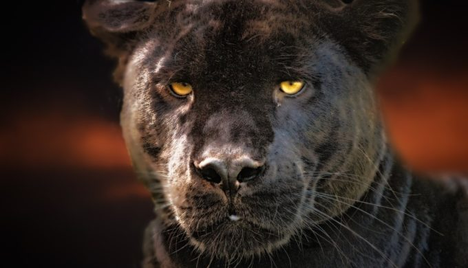 Jaguarundis: Is the Mystery of Texas Black Panther Sightings Solved?