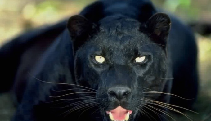 Black panthers in Texas?