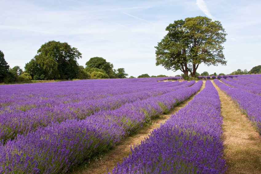 A field of lavender rows interlaced with the yellow of dead grass