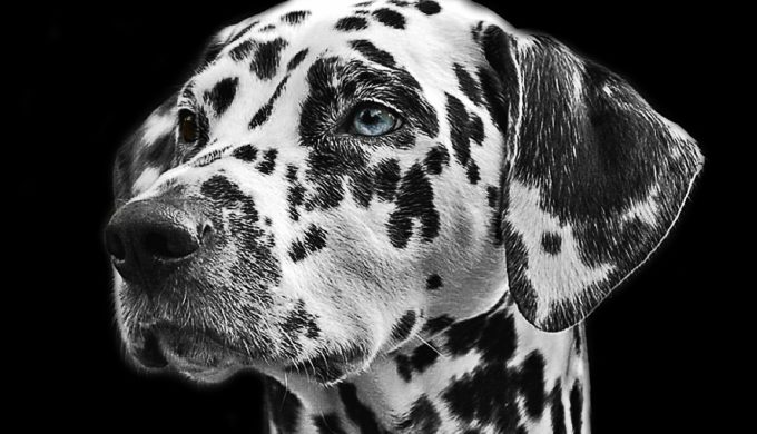 dalmatians blue-eyed-dalmation dalmations
