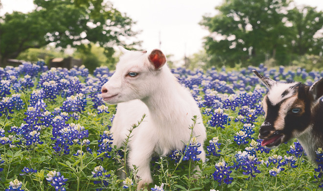 Austinite Uses Goats to Raise Awareness about Sustainable Living