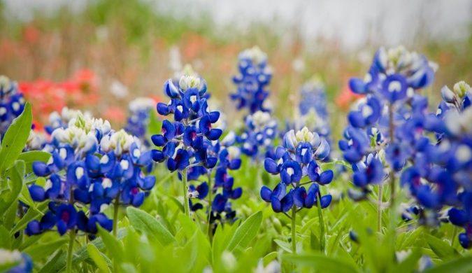 Roadside wildflowers - bluebonnets