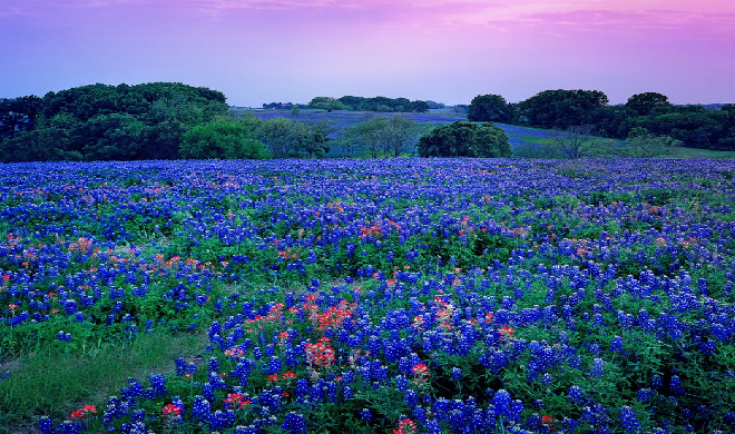 bluebonnets texas' five state flowers, Beautiful flower