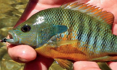 Bluegill Frio River, TX posted by Chad McPhail on Southwest Fly Fishing