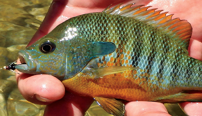 Fly fishing for bluegill in the texas hill country for Bluegill fly fishing