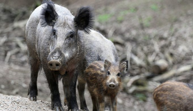 Where Did Texas Feral Hogs Come From? Their Surprising Origins